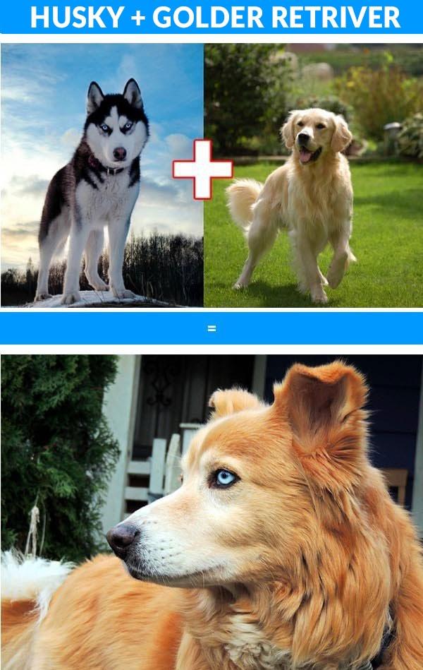 10 krzyżówek popularnych ras psów
