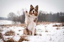 Zimowy Vuk