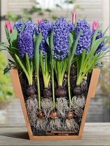 sadzenie cebulek na wiosnę..