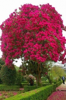 Copac Rhododendron