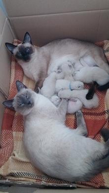 Kocięta tajskie z ich mamą i siostrą  #kot #kocięta #tajskiekoty