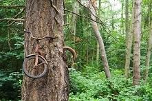 Rower wrośnięty w drzewo - ...