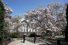 W tym roku magnolie zakwitły znacznie szybciej. Arboretum w Kórniku przeżywa ...