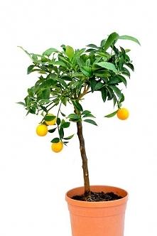 Drzewko kumkwat - link w ko...