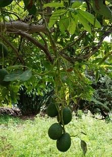 Dzrzewka avocado na Maderze