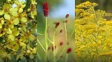 3 polne rośliny, które pomo...