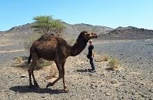 Dziki wielbłąd - Maroko