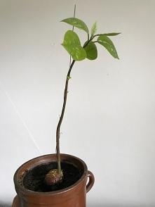 awokado rośnie jak na drożd...