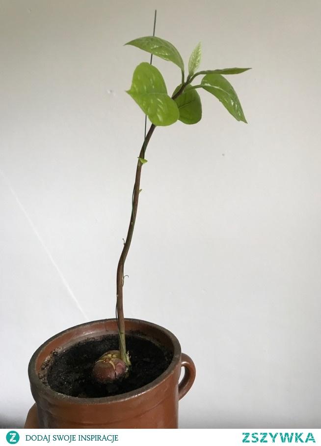 awokado rośnie jak na drożdżach