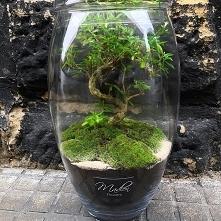 Testujemy nowe gatunki drzewek Bonsai , trzymajcie kciuki bo wyglądają magicz...