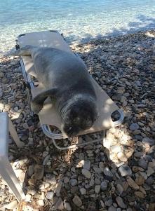 Αrgiro foczka żyła na wyspi...
