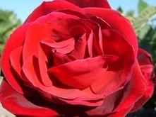 MAANAM [*] - Róża