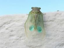 Cykady są nieśmiertelne,owad ten przezwycięża starość.Zrzuca starą powłokę,po czym uzyskuje nową.Muzyka w wakacje całkowicie za darmo w gorącym klimacie.Pracowity owad ,który dz...