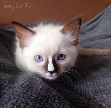Słodki kotek Ragdoll