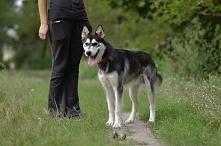 Fundacja Azylu pod Psim Aniołem  Sky to około roczny psiak w typie husky.  Zo...