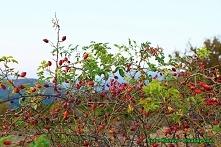 Nalewka z owoców dzikiej ró...