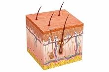 Skóra - budowa i histologia