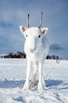 Biały renifer w Norwegii. Najmłodszy pomocnik Mikołaja.Zachwycająca natura.