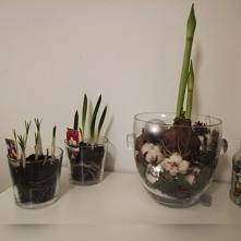 Krokusy, tulipany i amaryllis