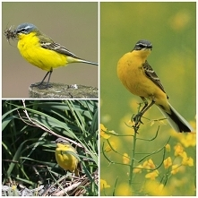 Pliszka żółta