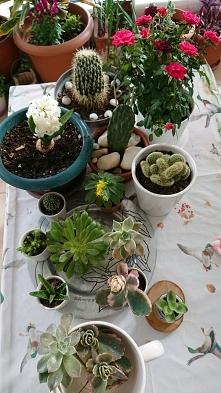 Misz - masz kwiatowy na wiosnę można sadzić i zmieniać ziemię oraz miejsce za...