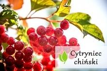 Cytryniec chiński - korzyści zdrowotne