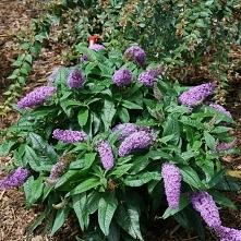 budleja Butterfly Bush