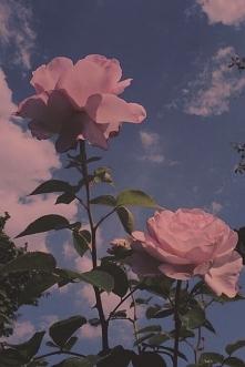 Rose :)