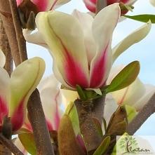 Magnolia pośrednia Sunrise