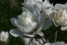 Magnolia WILDCAT