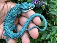 jaszczurka aligator