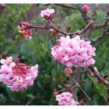 Kalina różowa