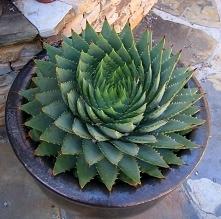 Spiraling succulent.