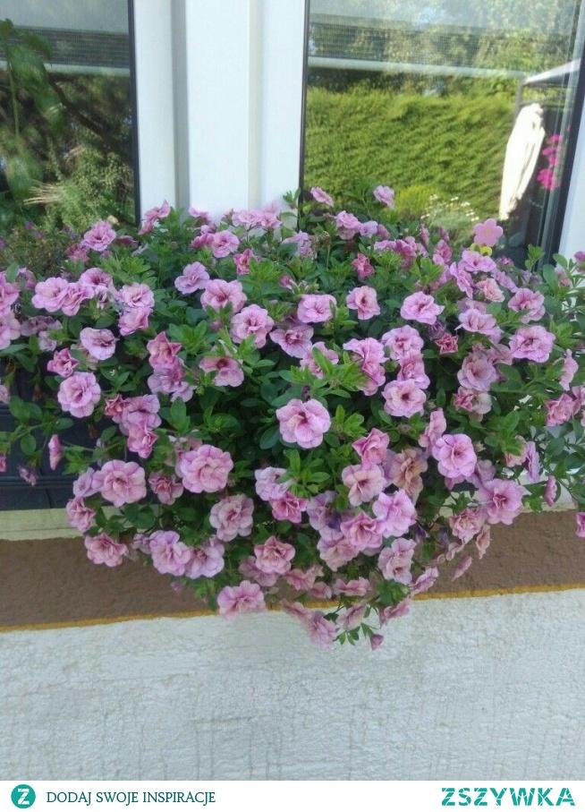 kwiaty, petunie pełnokwiatowe