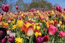 Park Keukenhof w Holandii -...