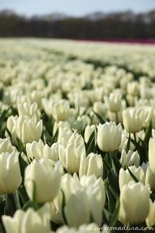 Białe pole tulipanowe w Hol...