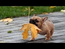 Funny And Cute French Bulld...