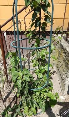 Jak sadzić kiwi w polskich ...