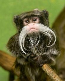 Tamaryna wąsata :)