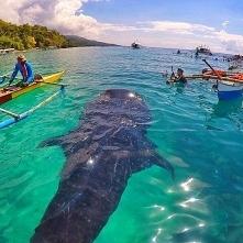 Rekin wielorybi, piękny ^^