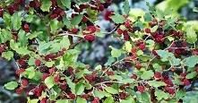 Roślina ta rośnie wokół nas, ale mało kto wie, że może zapobiegać nowotworom