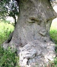 """1500 letnie """"Drzewo my..."""