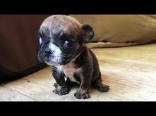Rescue Tiny Bulldog Can Not...