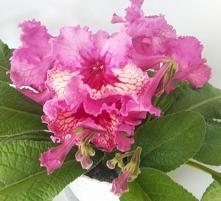 Skrętnik (Streptocarpus) Dobrze rośnie w półcieniu – nadmiar słońca może powo...