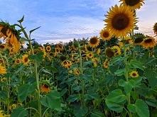 Słoneczna uprawa słonecznik...