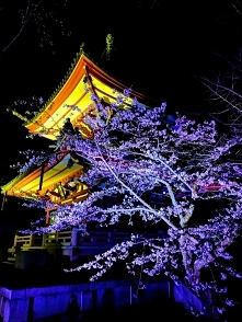 Kwitnące wiśnie nocą, Kyoto...