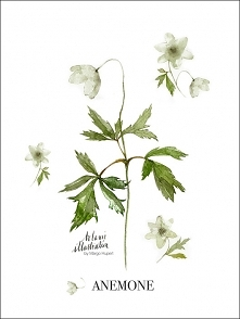 Anemone , print | 40x50 cm