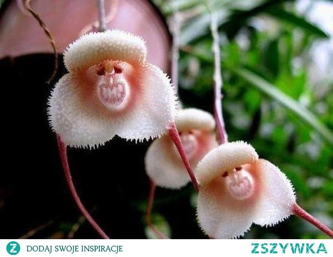 Orchidea czy malpka?