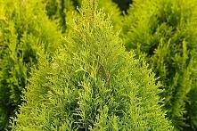 Tuja-Szmaragd-Gold-Thuja-occidentalis-Golden-Smaragd-Janed-Gold