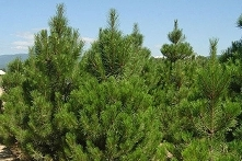 Sosna czarna austriacka Pinus nigra